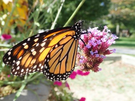 Monarchs at the beaches